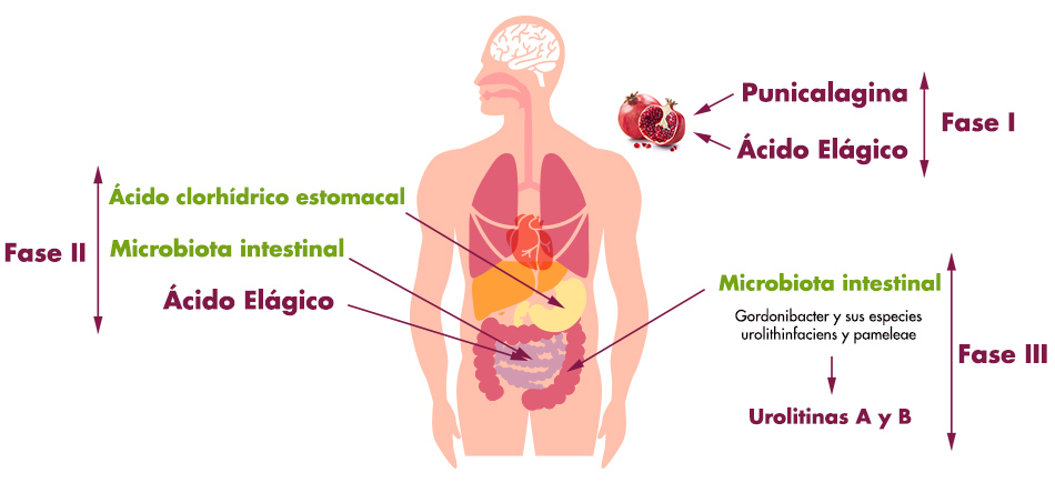 la ingestión de punicalagina en forma de zumo de granada concentrados, yo extractos provenientes de la corteza