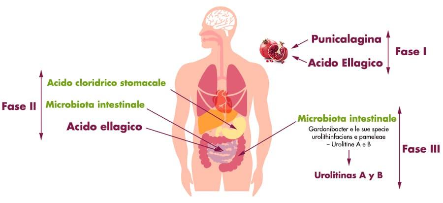 frutto-di-melograno-microbiotico