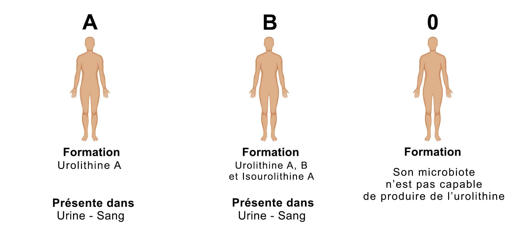 Formation d'urolithines selon les phénotypes
