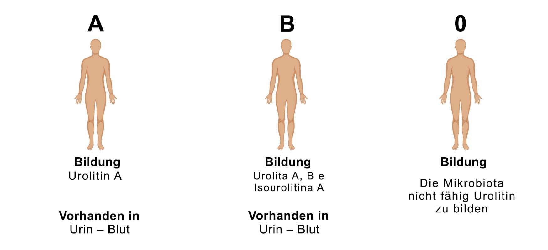 Bildung von Urolitinen je nach Phänotypus