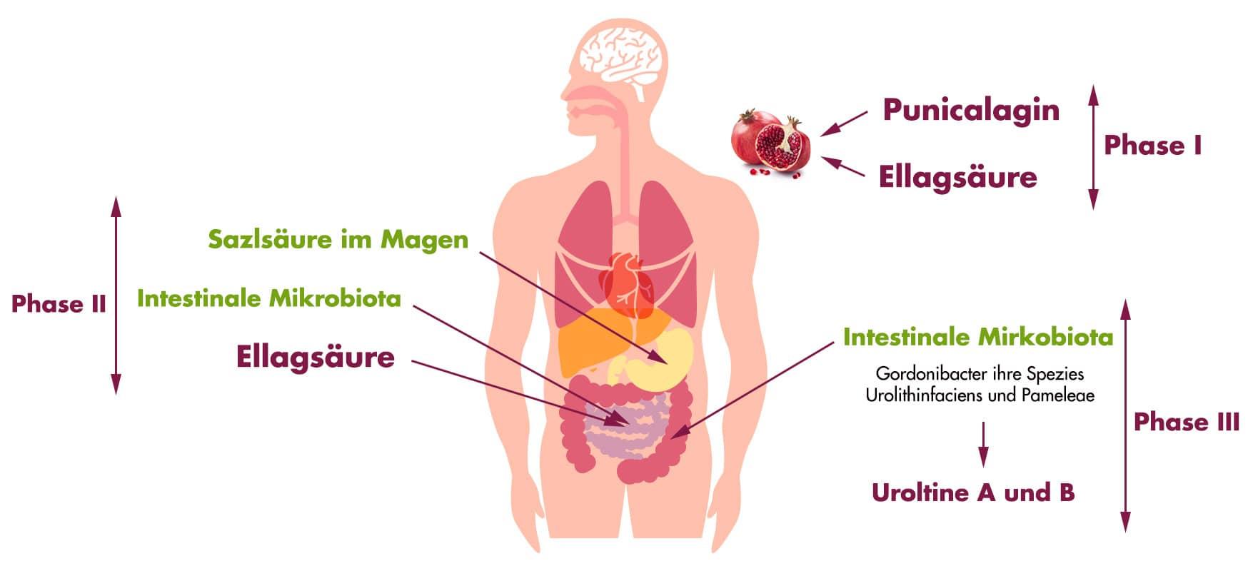 Bildung von Urolitinen